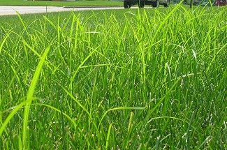 Nut Grass Control